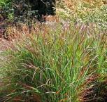 Rutenhirse Rehbraun - großer Topf - Panicum virgatum