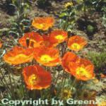 Islandmohn Farbmischung - Papaver nudicaule