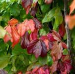 Eisenholzbaum Bella 100-125cm - Parrotia persica