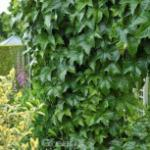 Robuste Jungfernrebe 100-125cm - Parthenocissus tricuspidata