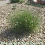 Lampenputzergras Hameln - großer Topf - Pennisetum alopecuroides