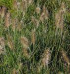Lampenputzergras Little Bunny - großer Topf - Pennisetum alopecuroides