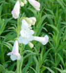 Bartfaden White Bedder - Penstemon Hybrid