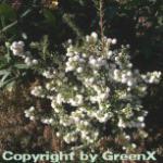 Torfmyrthe weiße Beeren - Pernettya mucronata