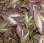 Knöterich Red Dragon - Persicaria microcephala