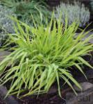 Rohrglanzgras Arctic Sun - Phalaris arundinacea