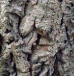Kleiner Samtbaum 100-125cm - Phellodendron lavallei