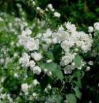 Gefüllter Gartenjasmin 60-80cm - Philadelphus