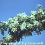 Duftender Bauernjasmin 60-80cm - Philadelphus coronarius