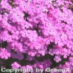 Niedrige Flammenblume Mc Daniels Cushion - Phlox subulata