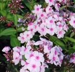 Hohe Flammenblume Kirmeländer - Phlox Paniculata
