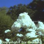 Hohe Flammenblume Pax - Phlox Paniculata