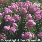 Hohe Flammenblume Sternhimmel - Phlox Paniculata