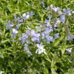 Niedrige Flammenblume Blue Moon - Phlox divaricata
