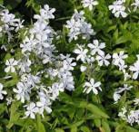 Niedrige Flammenblume White Perfume - Phlox divaricata