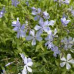 Niedrige Flammenblume - Phlox divaricata