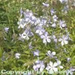Flammenblume - Phlox divaricata