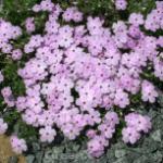 Niedrige Flammenblume Lachsjuwel - Phlox divaricata
