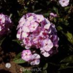 Hohe Flammenblume Die Holde - Phlox paniculata