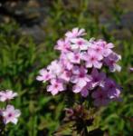 Hohe Flammenblume Lichtspiel - Phlox paniculata