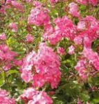 Hohe Flammenblume Rijnstroom - Phlox Paniculata