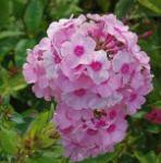 Hohe Flammenblume Rosenball - Phlox paniculata