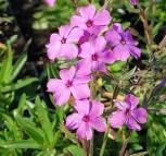 Kriechende Flammenblume Rosea - Phlox procumbens