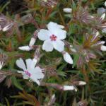 Niedrige Flammenblume Amazing Grace - großer Topf - Phlox subulata
