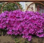 Niedrige Flammenblume Atropurpurea - Phlox subulata