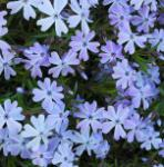 Teppich Phlox Emerald Cushion Blue - Phlox subulata