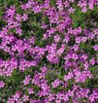 Niedrige Flammenblume Petticoat - Phlox subulata