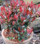 Hochstamm Glanzmispel Little Red Robin 60-80cm - Photinia fraseri