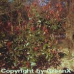 Glanzmispel Red Robin 80-100cm - Photinia fraseri