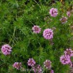Rosenwaldmeister Purpurea - Phuopsis stylosa