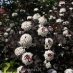 Fasanenspiere Midnight 40-60cm - Physocarpus opulifolius Midnight