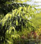 Kaukasus Fichte Aurea 20-25cm - Picea Orientalis