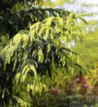 Kaukasus Fichte Aurea 70-80cm - Picea orientalis Aurea