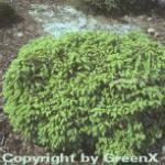 Blaue Pummelfichte 50-60cm - Picea abies