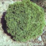 Kugelfichte Alberta Globe 20-25cm - Picea glauca