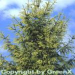 Orientalische Goldfichte 50-60cm - Picea orientalis Aurea