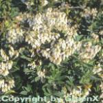 Schattenglöckchen Lavendelheide Debutante 20-25cm - Pieris japonica