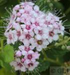 Schattenglöckchen Lavendelheide Little Princess 30-40cm - Pieris japonica