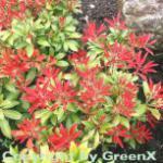 Schattenglöckchen Lavendelheide Mountain Fire 30-40cm - Pieris japonica