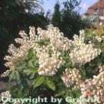 Schattenglöckchen Lavendelheide Prelude 30-40cm - Pieris japonica