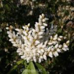 Schattenglöckchen Lavendelheide Purity 20-25cm - Pieris japonica