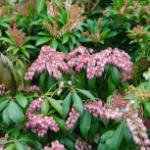 Schattenglöckchen Lavendelheide Valley Valentine 30-40cm - Pieris japonica