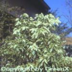 Weißbuntes Schattenglöckchen 20-25cm . Pieris japonica