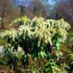 Zwerg Schattenglöckchen 25-30cm - Pieris japonica