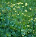 Kleine Bibernelle - Pimpinella saxifraga