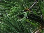 Kompakte Blauzirbelkiefer 20-25cm - Pinus cembra